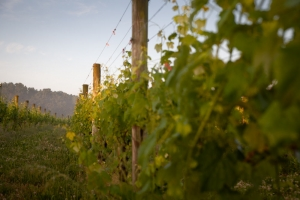 Muse Vineyards - Grape Vines