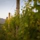 Muse Vineyards - Grape Vines