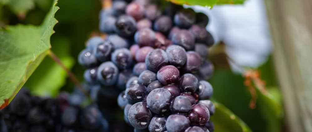 Grape Harvest Virginia Muse Vineyards