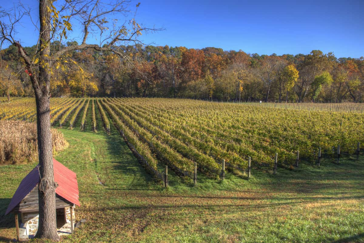 Vineyards in Autumn at Muse Vineyards