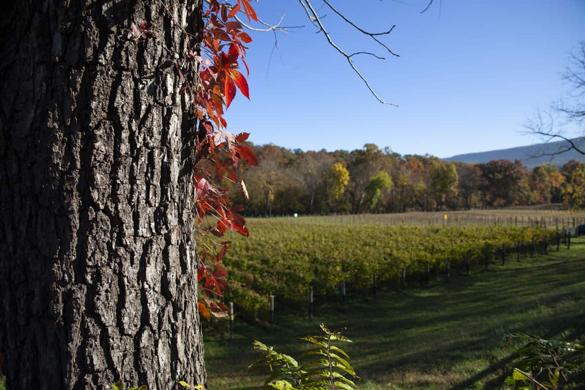 Autumn at Muse Vineyards