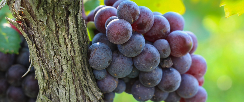 Muse Vineyards Grapes