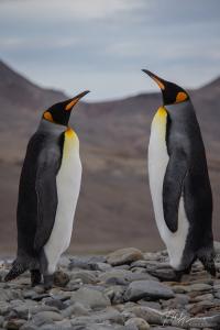 Penguins at Fortuna Bay, South Georgia Island