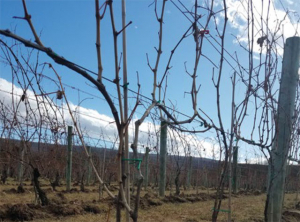 double-Guvot method of cane pruning